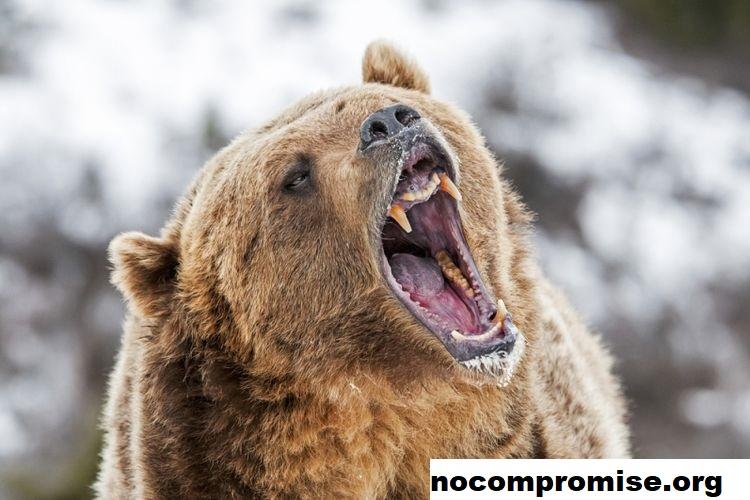 Pemerintahan Biden Diminta Tingkatkan Populasi Beruang Grizzly 2021