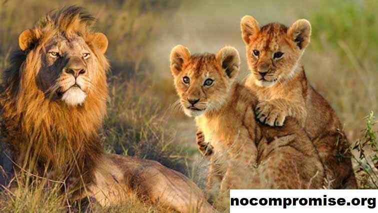 Menjaga Hewan Liar Dan Prioritas Keselamatan Populasi Singa